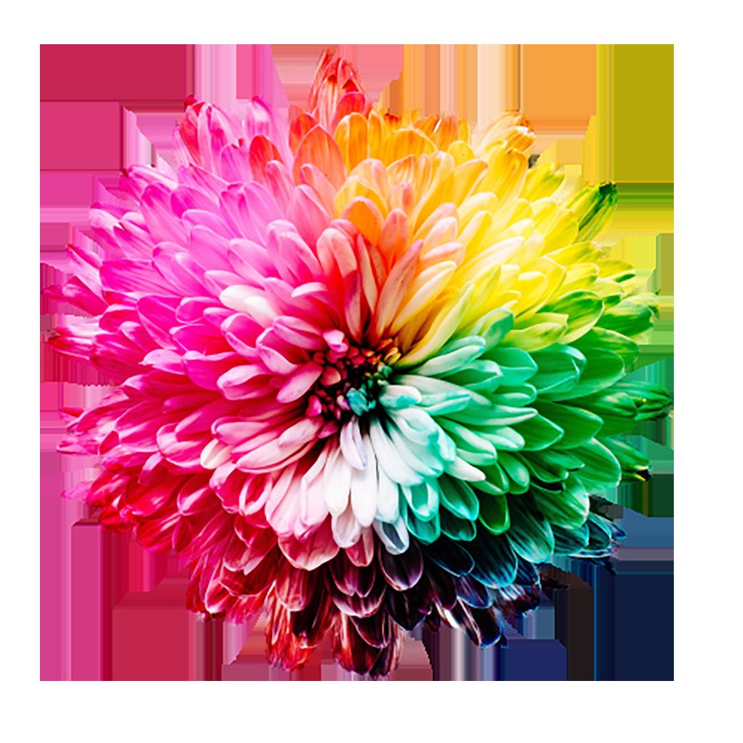 Multicolored Dahlia flower transparent background PNG