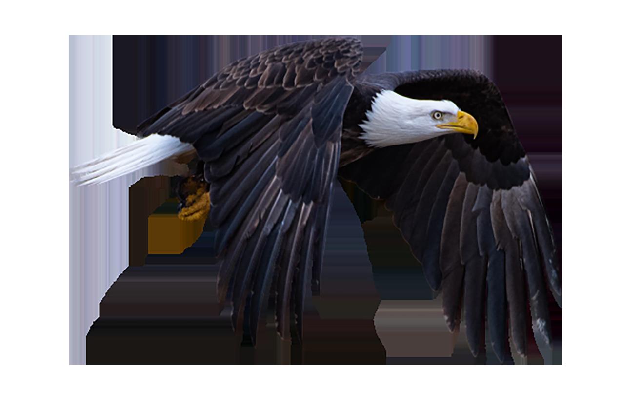 Flying Bald Eagle, the bird of prey transparent background PNG