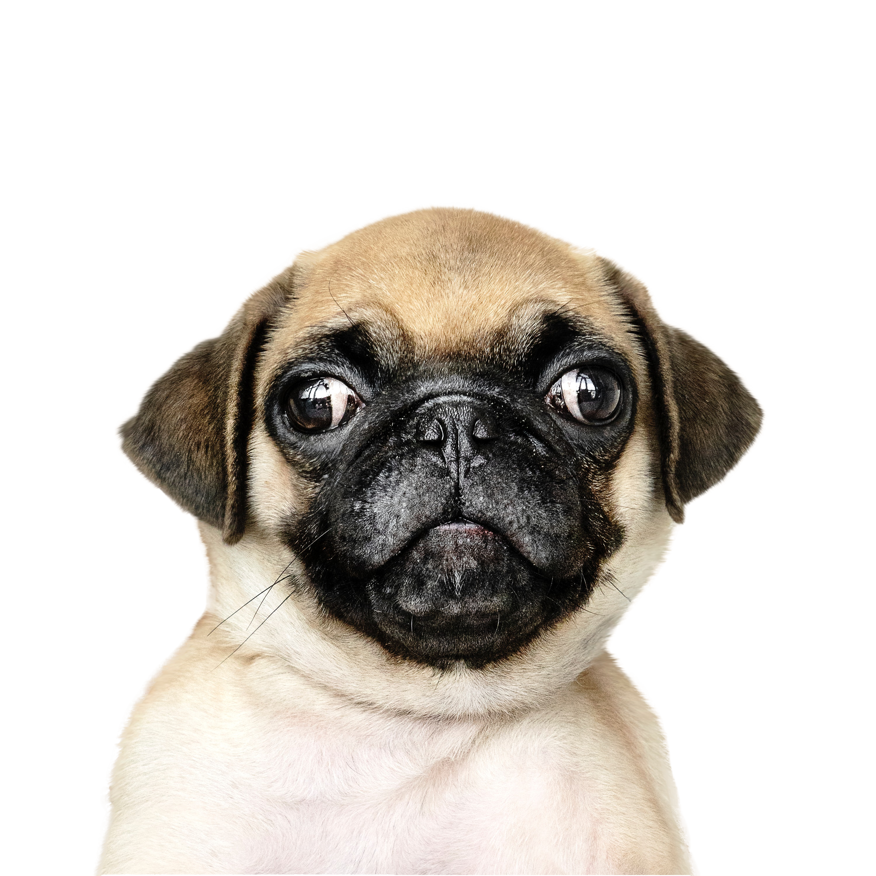 Cute Puppy dog with transparent Background PNG