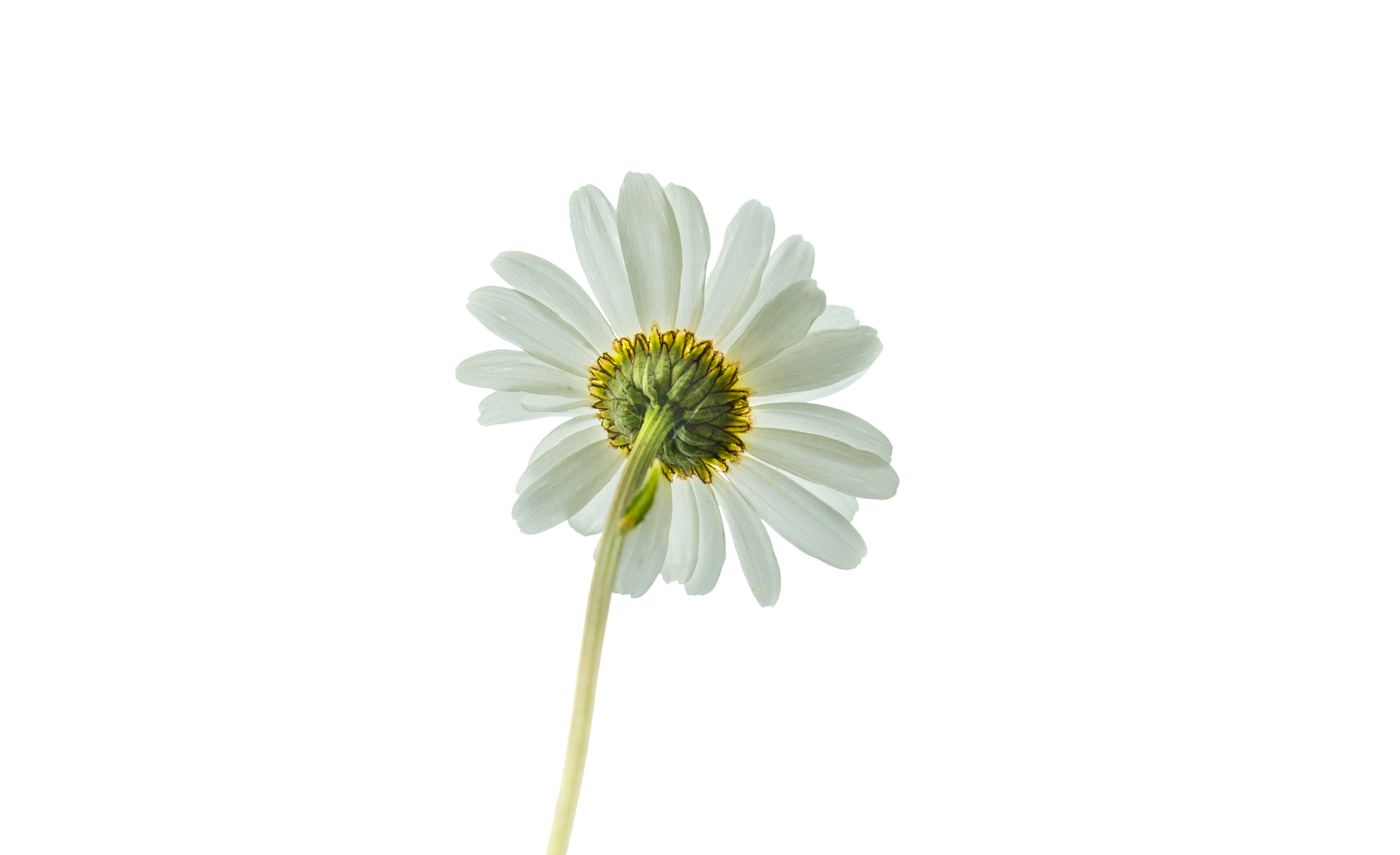 White dream flower Transparent Background PNG