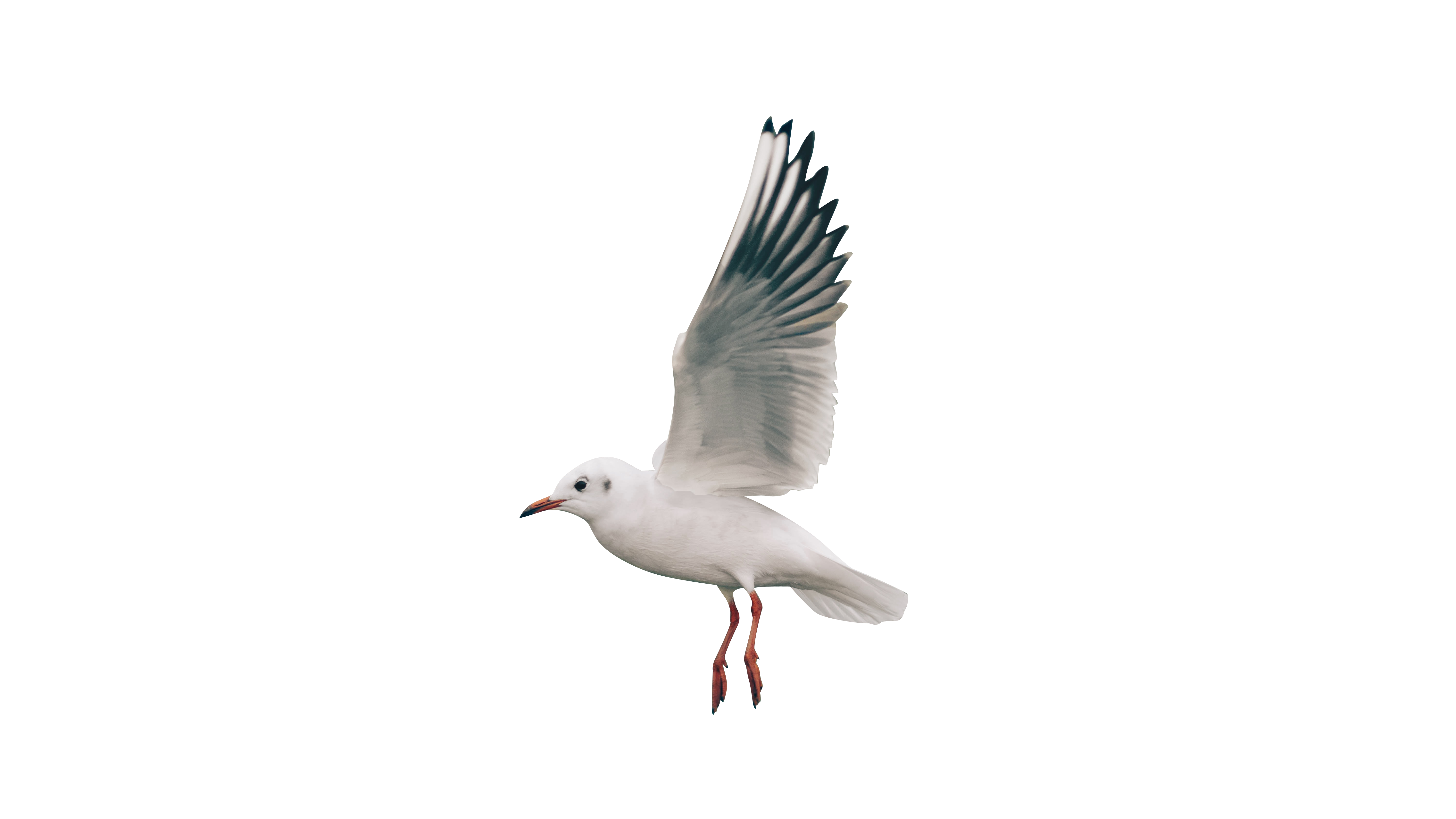 White bird flying Transparent Background PNG
