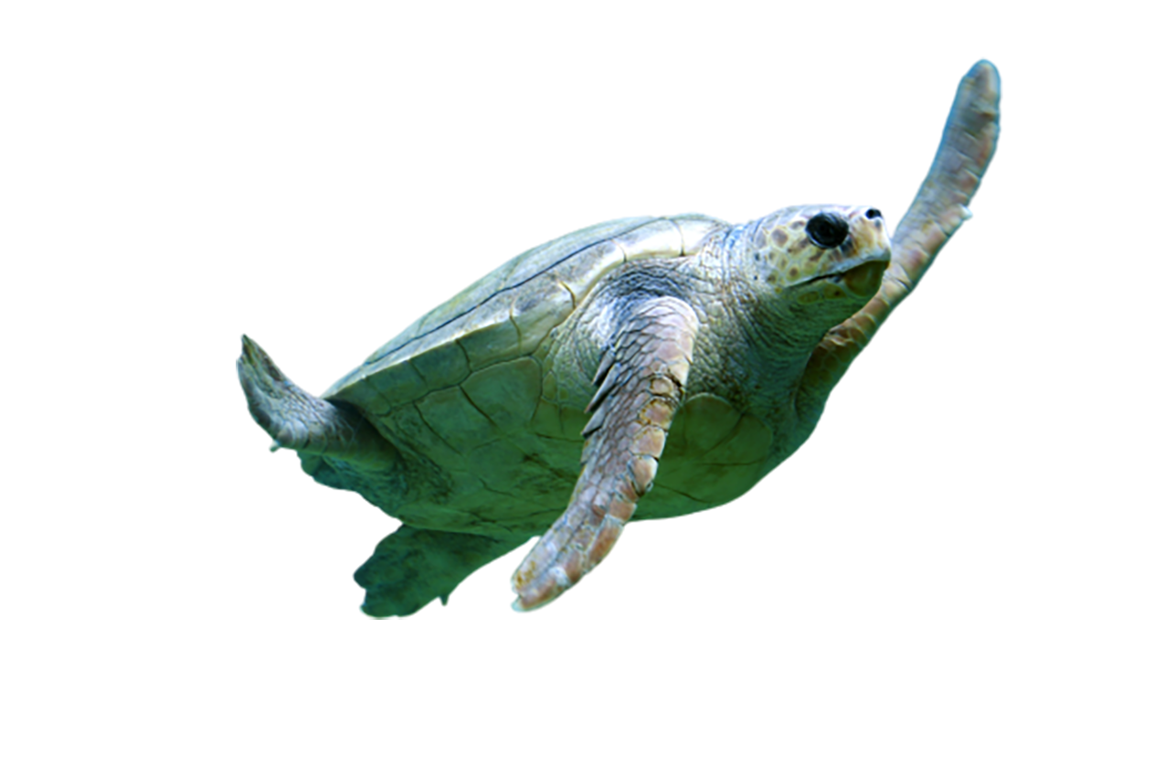 Turtle swimming transparent background PNG