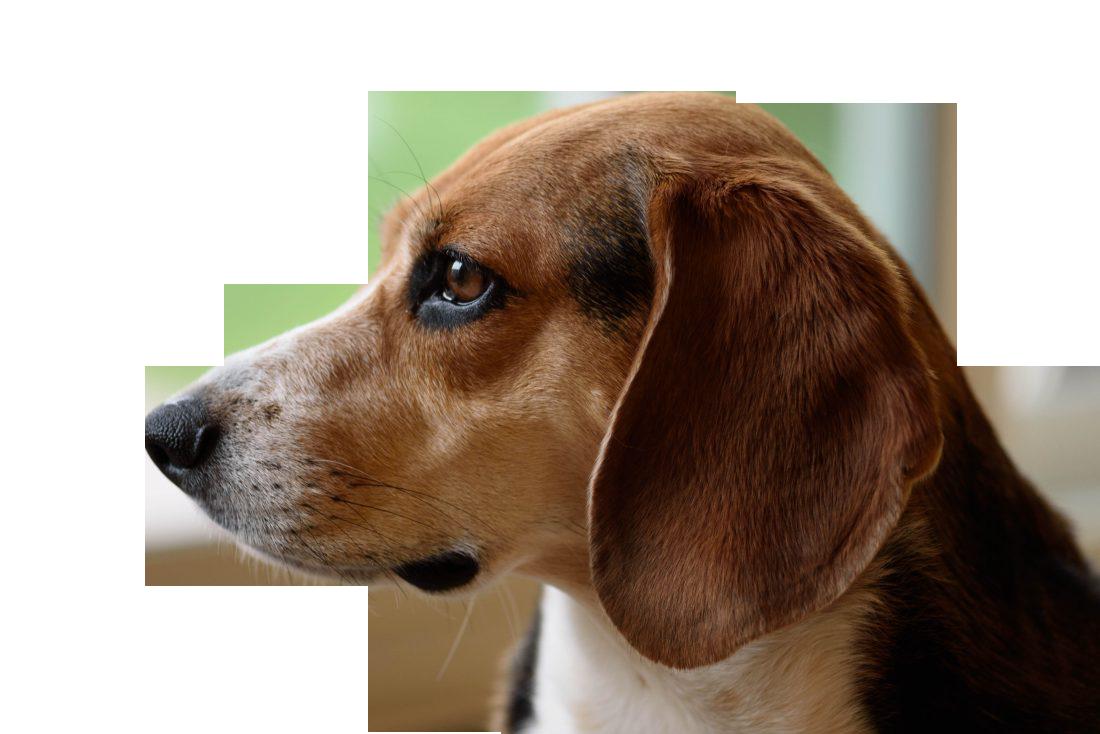 Beagle Dog Transparent Background PNG