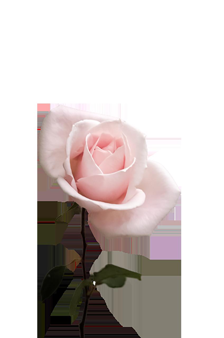 Light pink Rose transparent background PNG