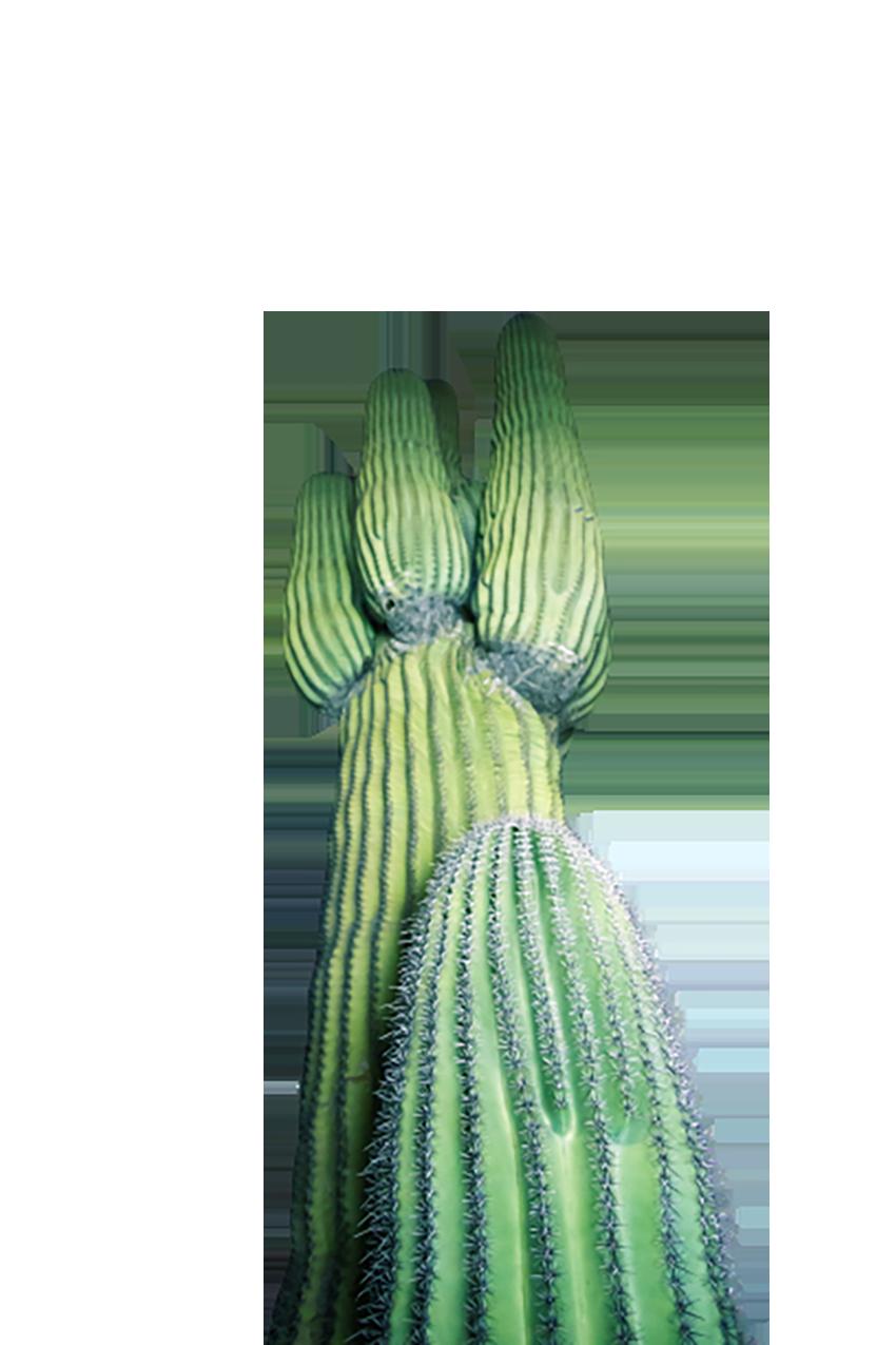 Green Cactus transparent background PNG