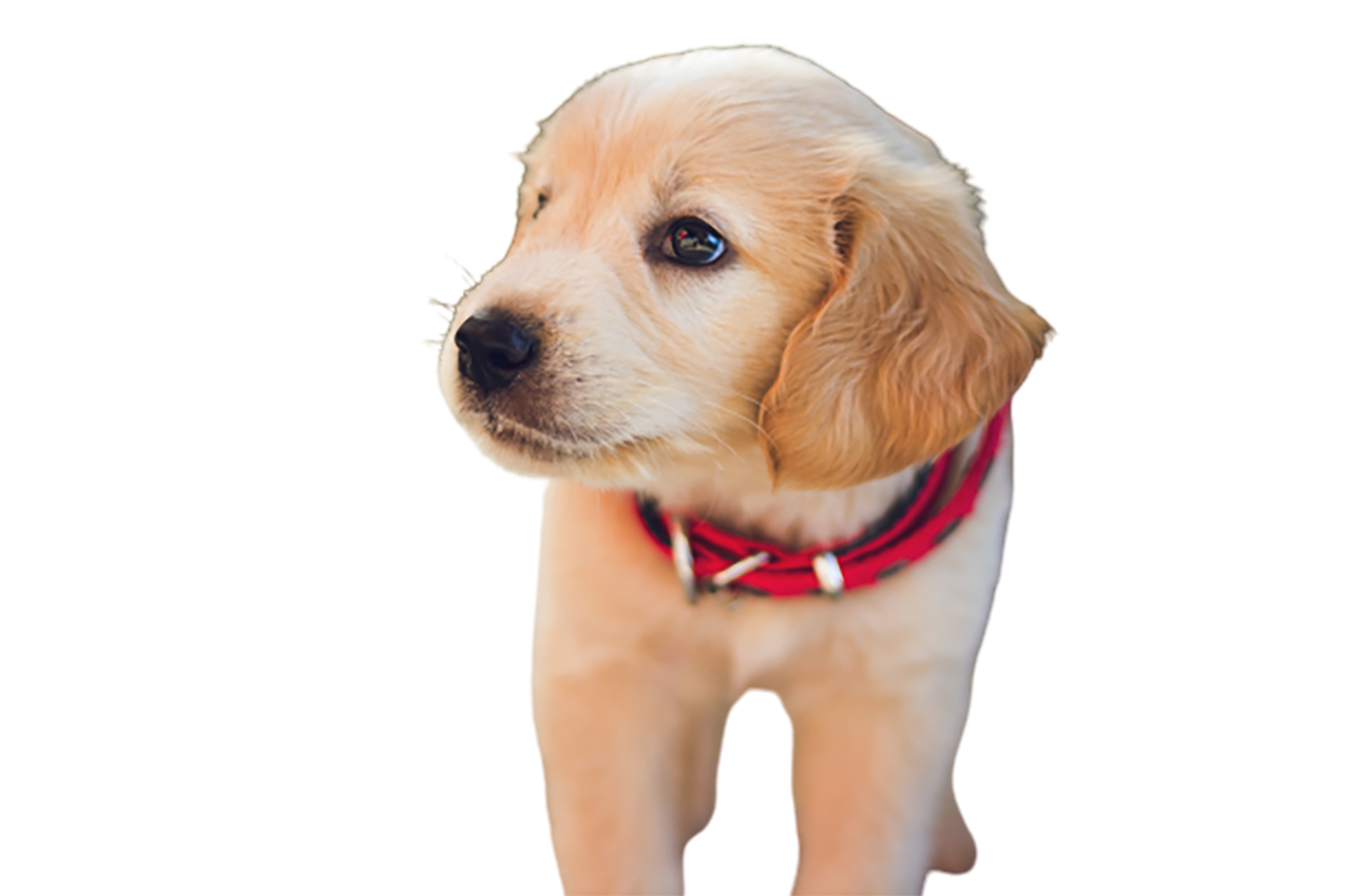 Brown puppy wit red belt transparent background PNG