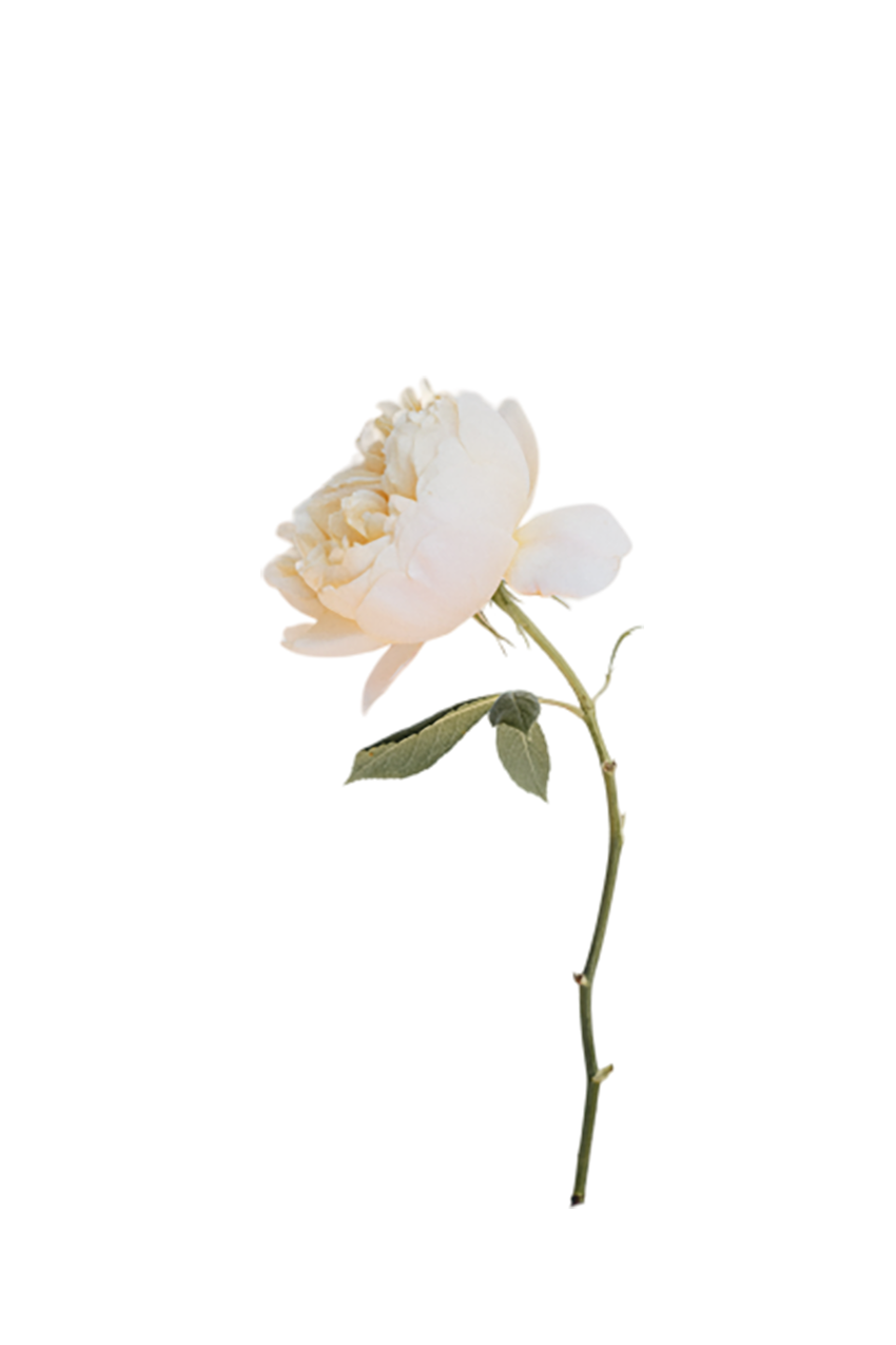 Off-white Rose transparent background PNG