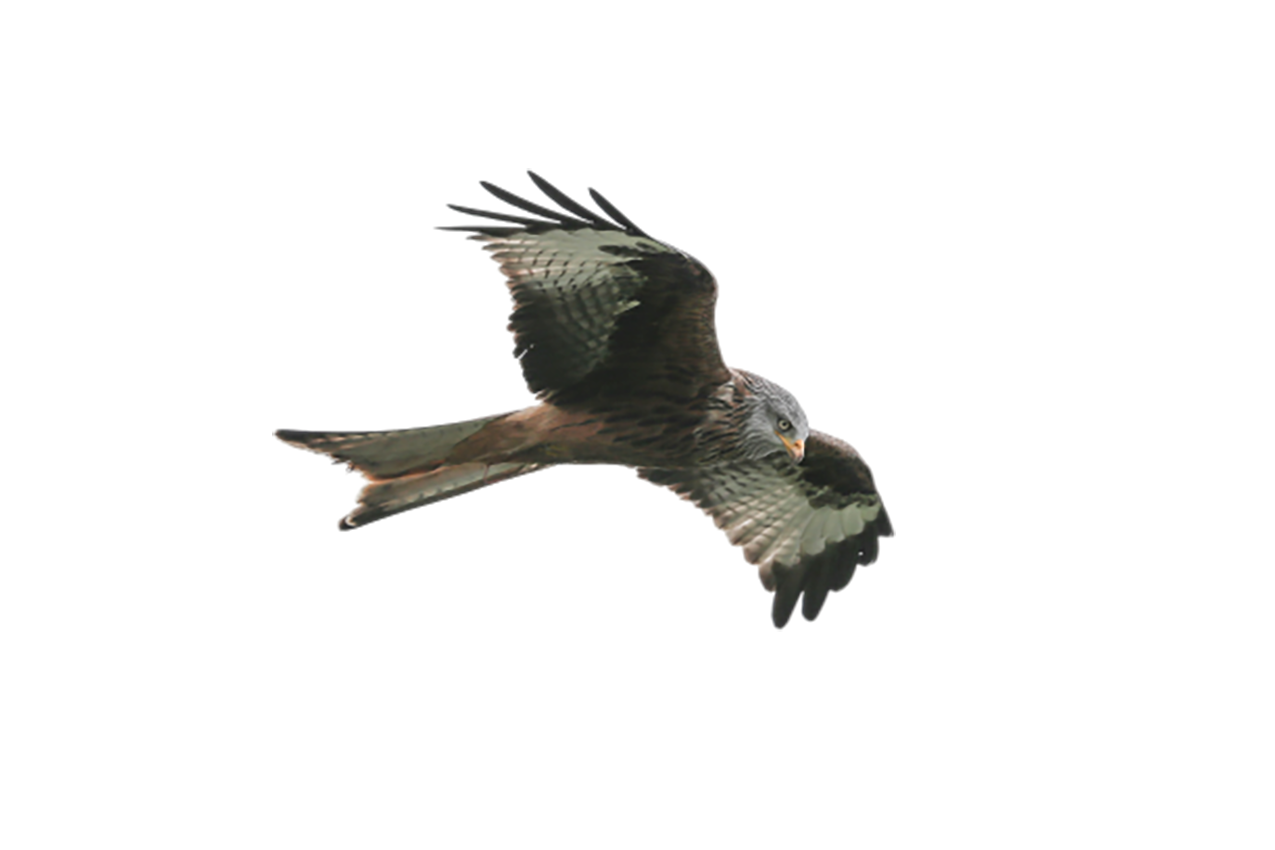 Hawk is flying transparent background PNG