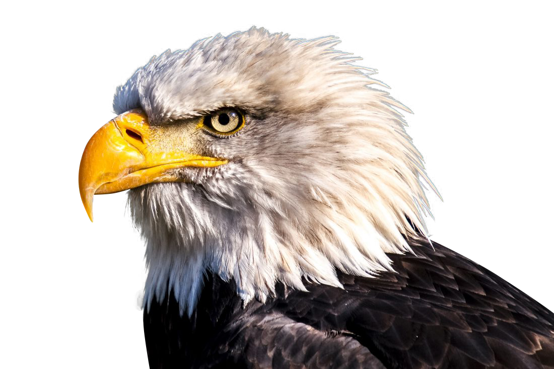 white eagle with yellow beak Transparent Background PNG