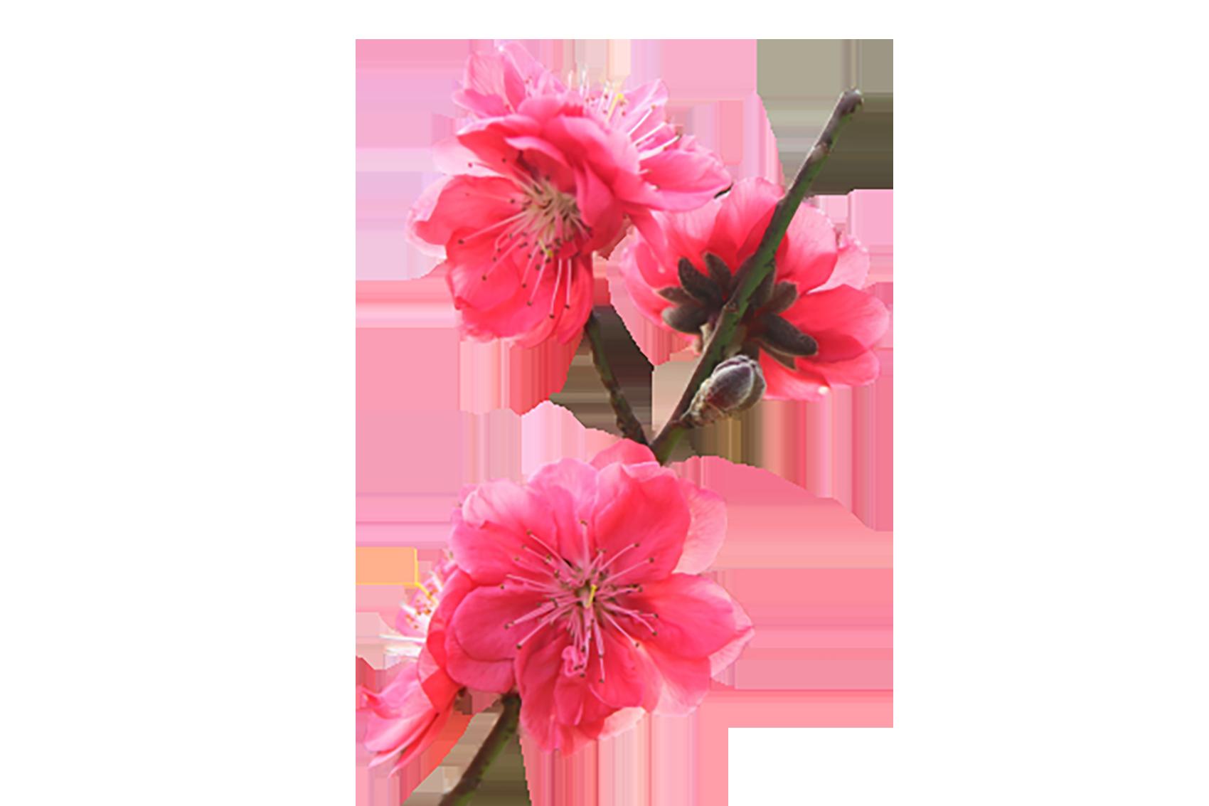 Beautiful pink Geranium Flower transparent background PNG