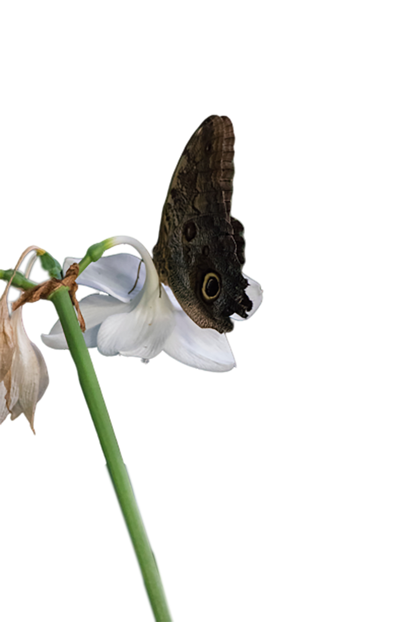 Butterfly sitting on a white flower transparent background PNG