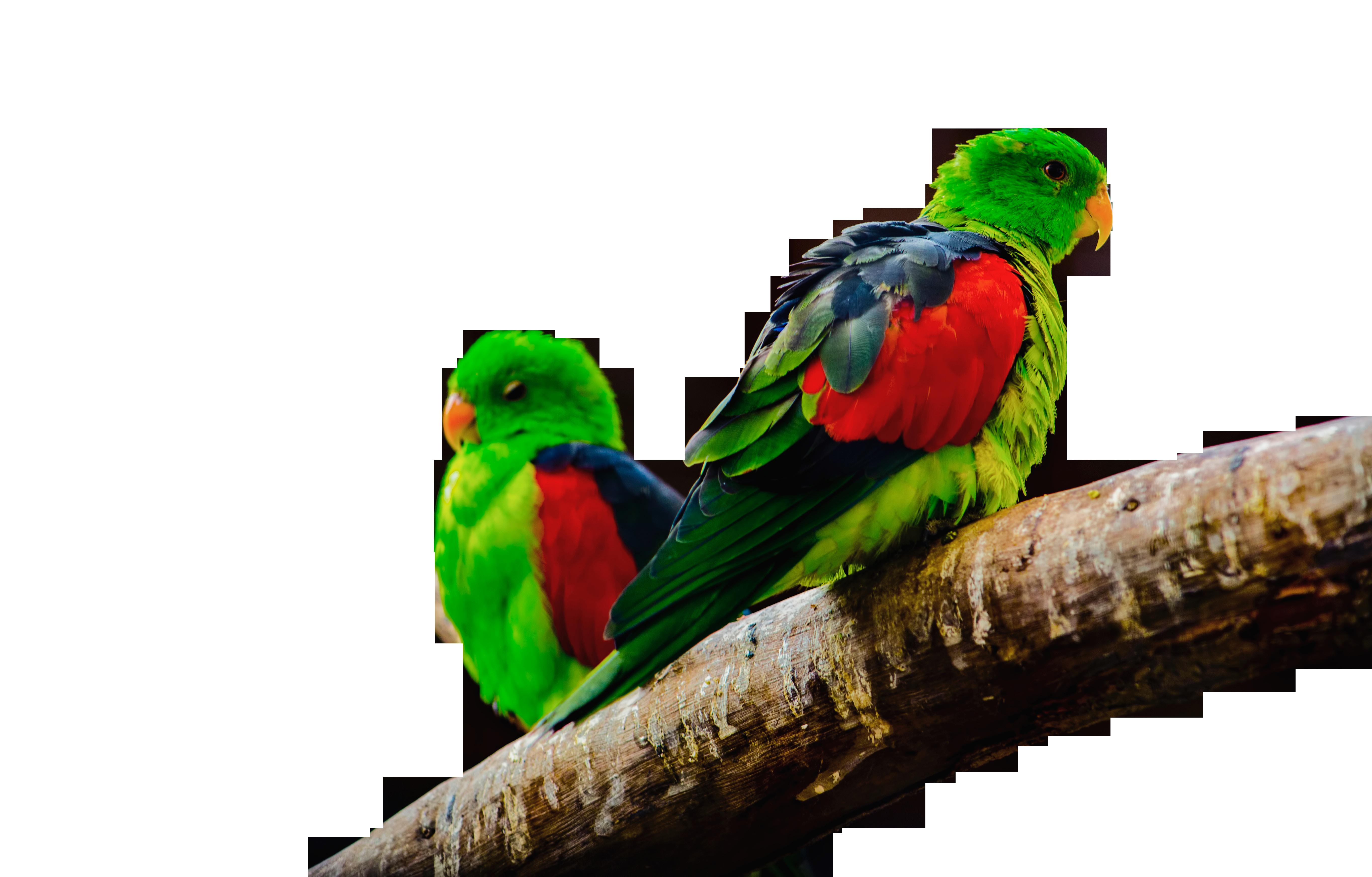 Parrots Sitting on Branch Transparent Background PNG