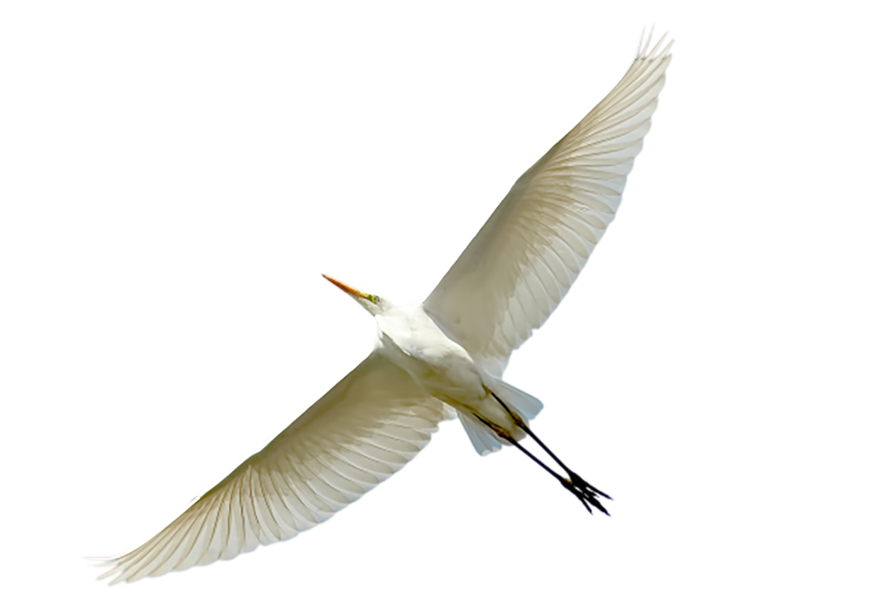 Great white egret or Great white heron transparent background PNG