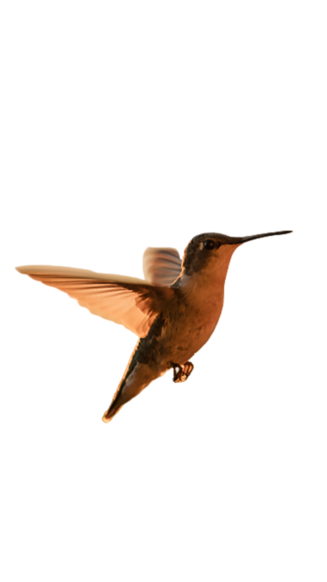 Rufous hummingbird flying transparent background PNG