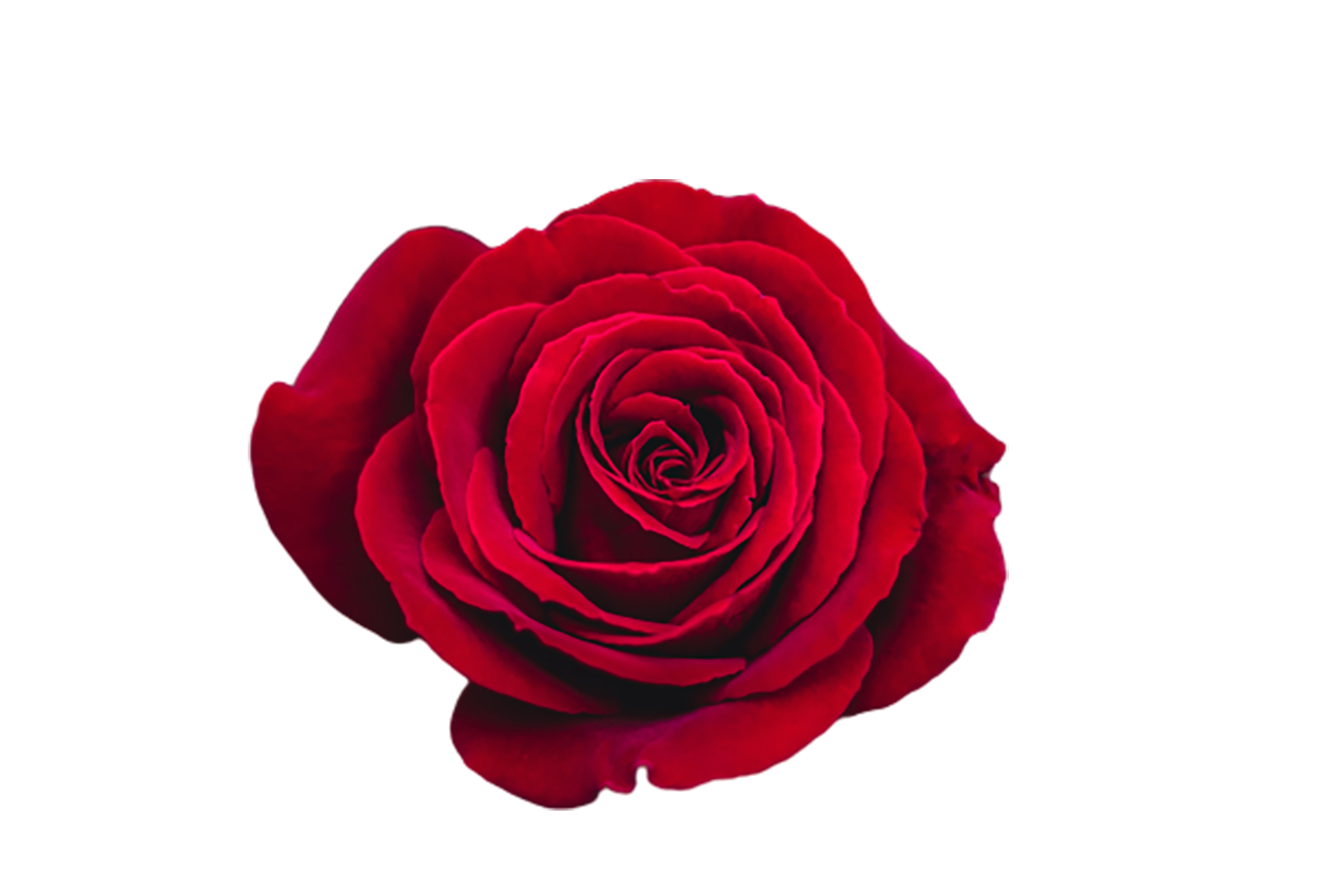 Red Rose transparent background PNG