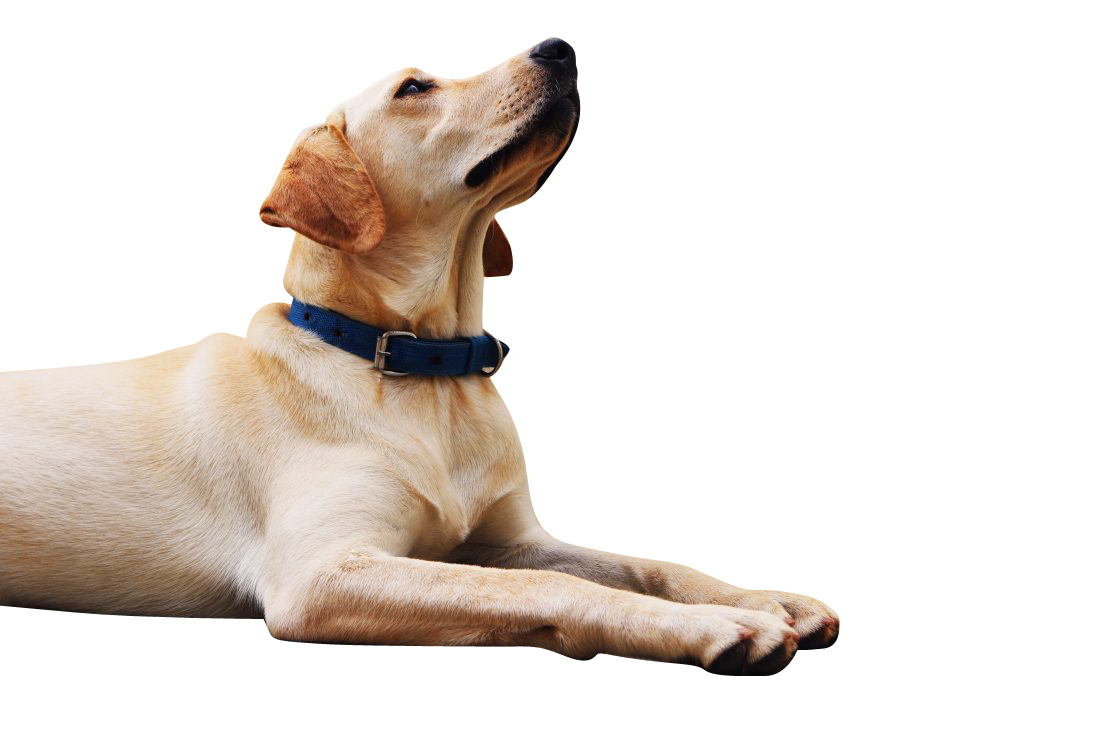 Dog Looking Up Transparent Background PNG