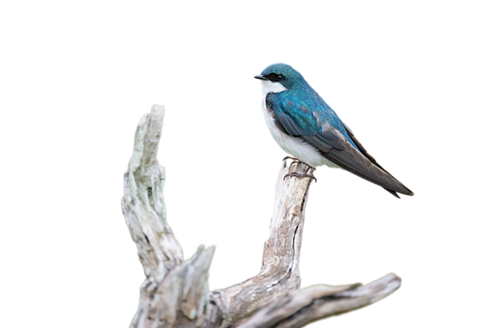 Blue-and-white flycatcher transparent background PNG