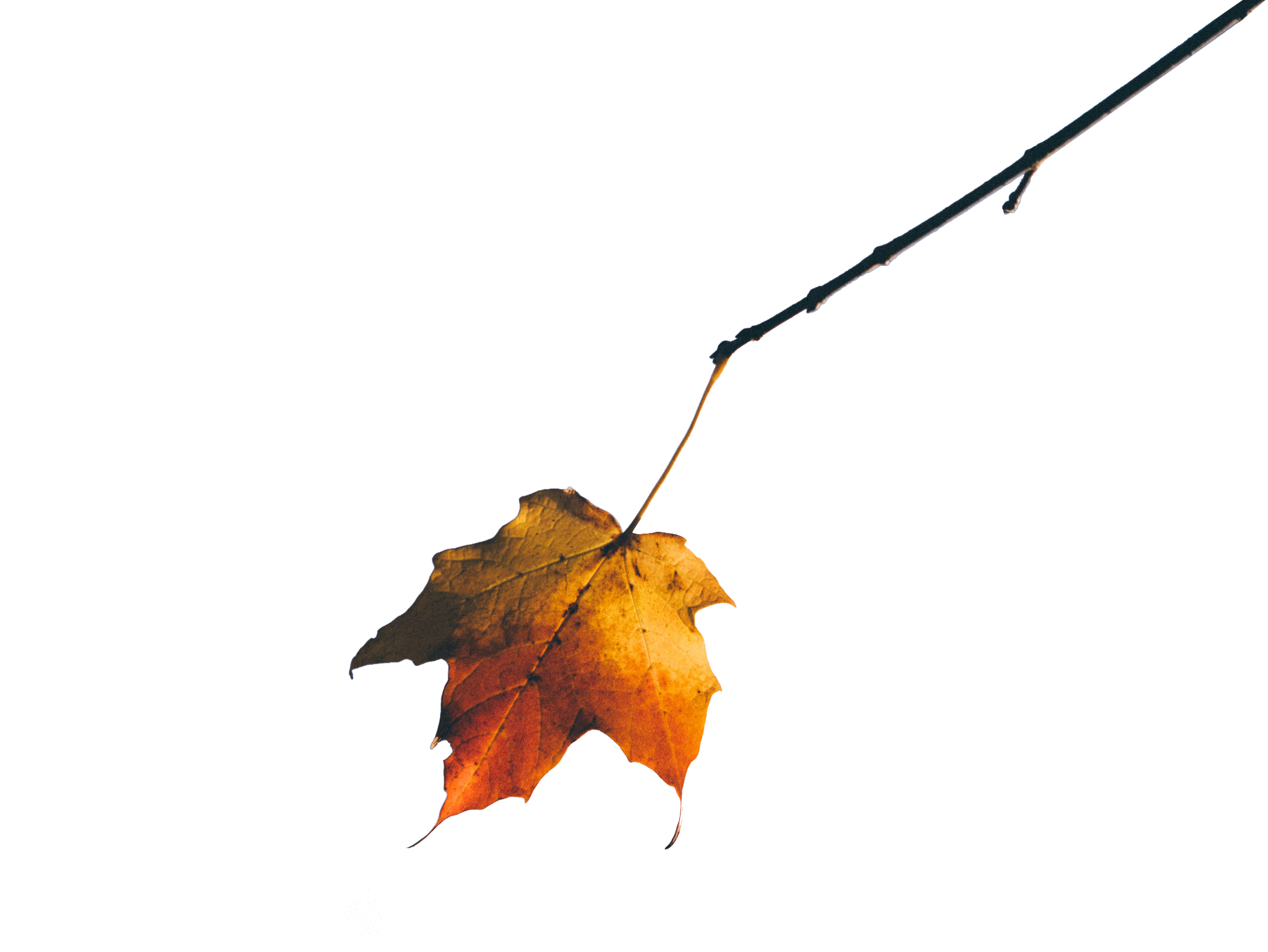 Beutiful golden leaf with Transparent Backgroung PNG
