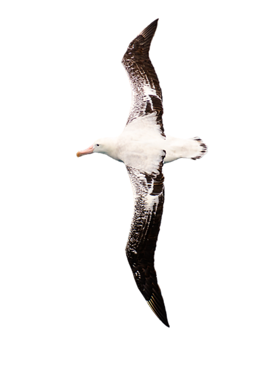 Wandering albatross, seabird transparent background PNG