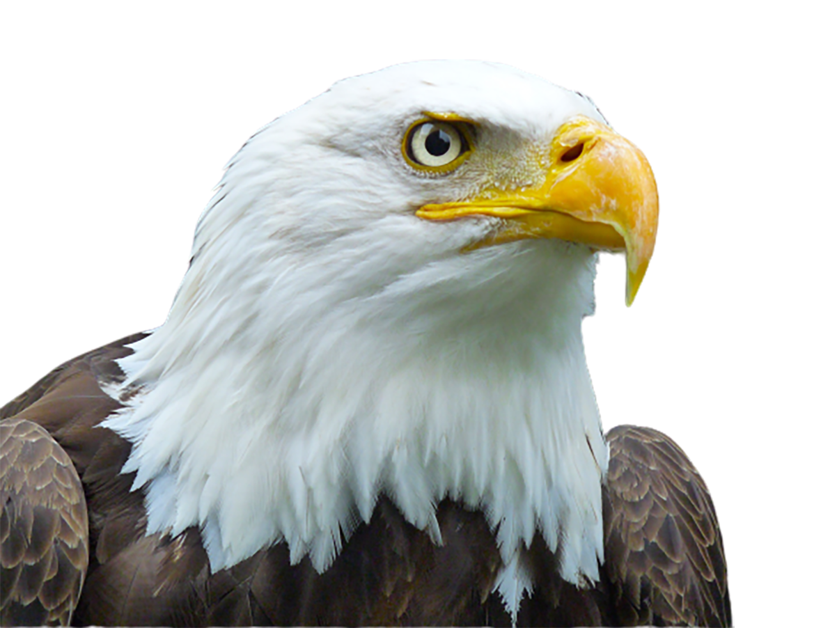 American Bald Eagle head transparent background PNG