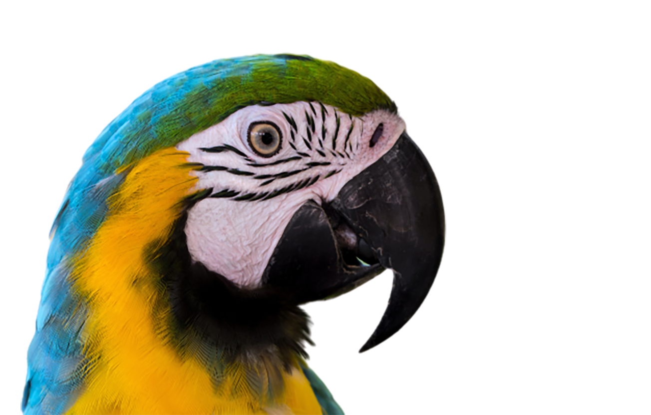 Blue-and-yellow macaw transparent background PNG