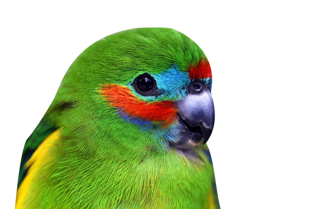 Parrot Transparent Background PNG