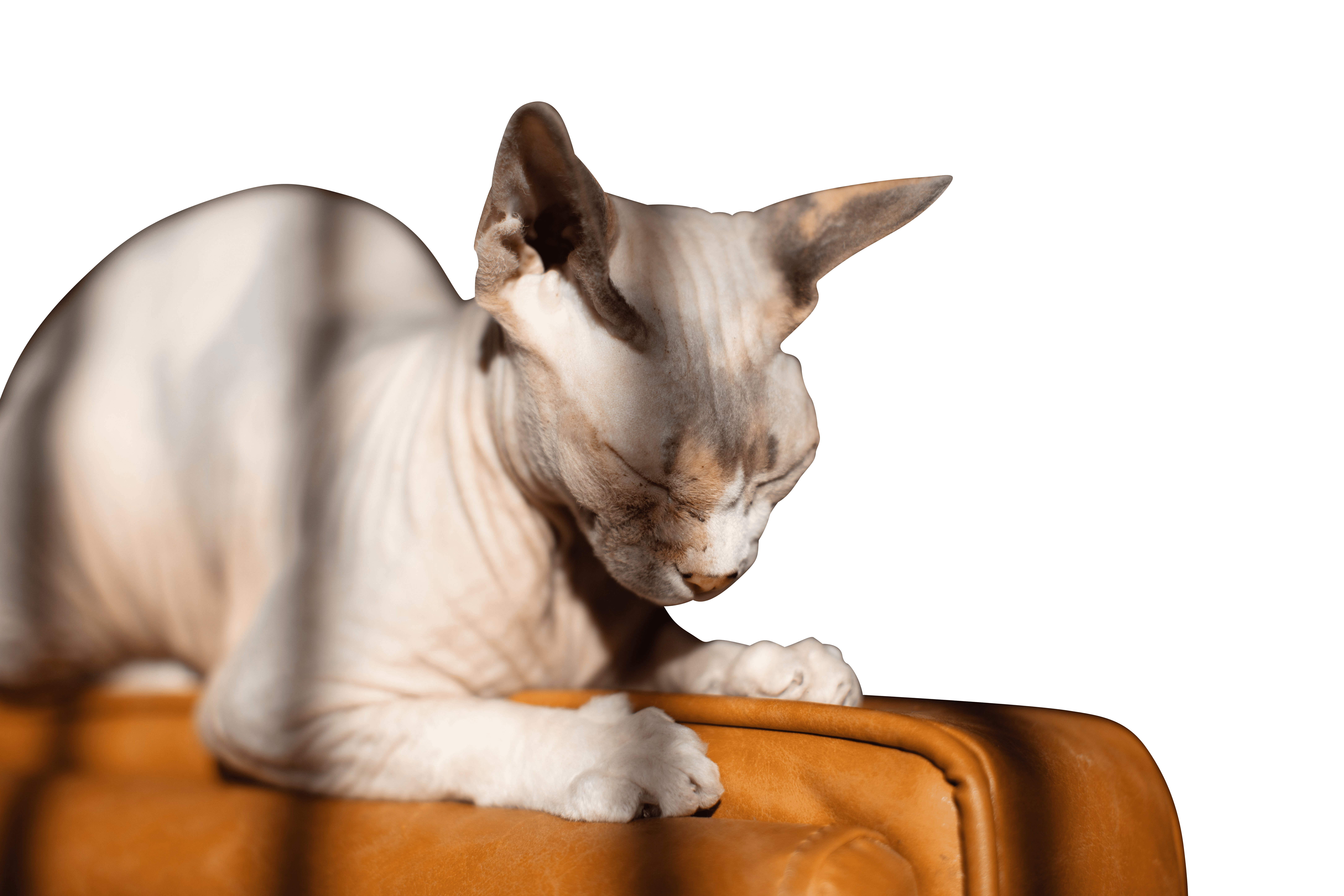 Sphynx cat with eyes closed transparent background.png