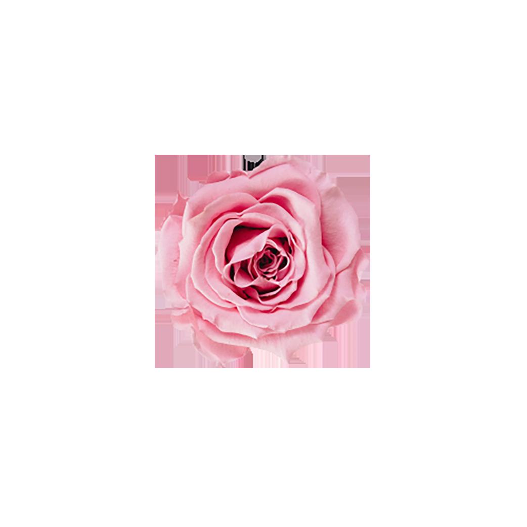Pink Rose transparent background PNG