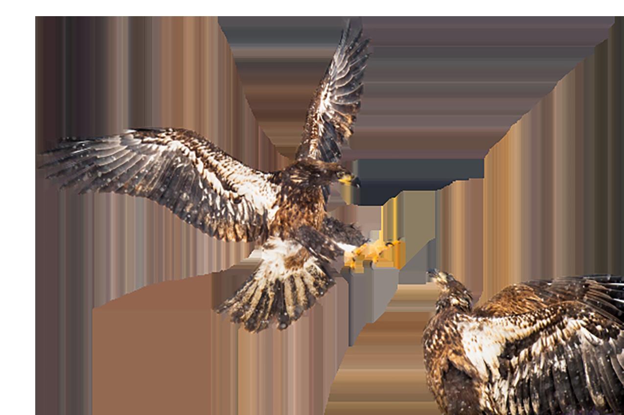 Eagles Fight, dispersed transparent background PNG