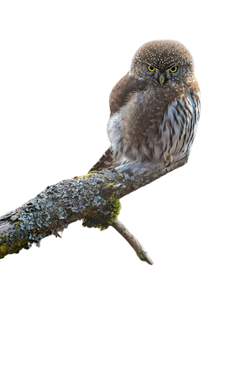 Owl sitting on a branch transparent background PNG
