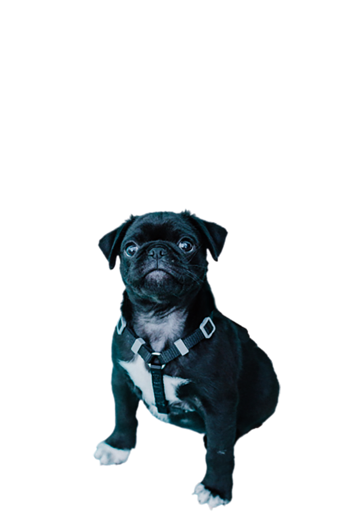 Pug dog looking at its owner transparent background PNG