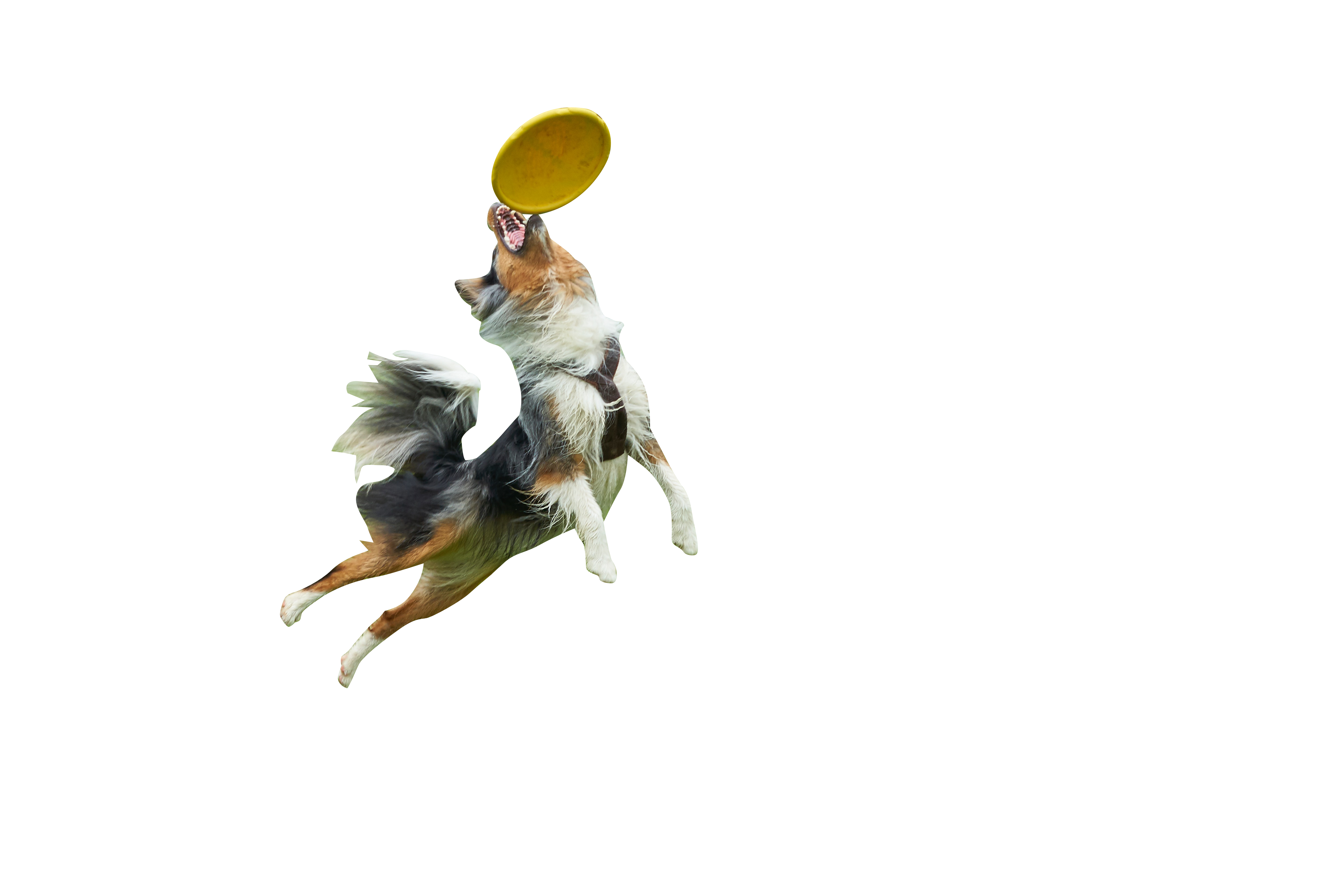 Dog playing catch Frisbee Transparent Background PNG