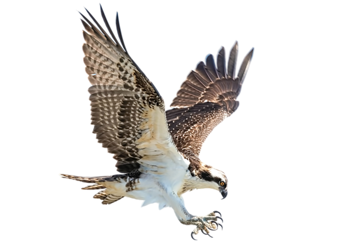Falcon, catching its prey transparent background PNG