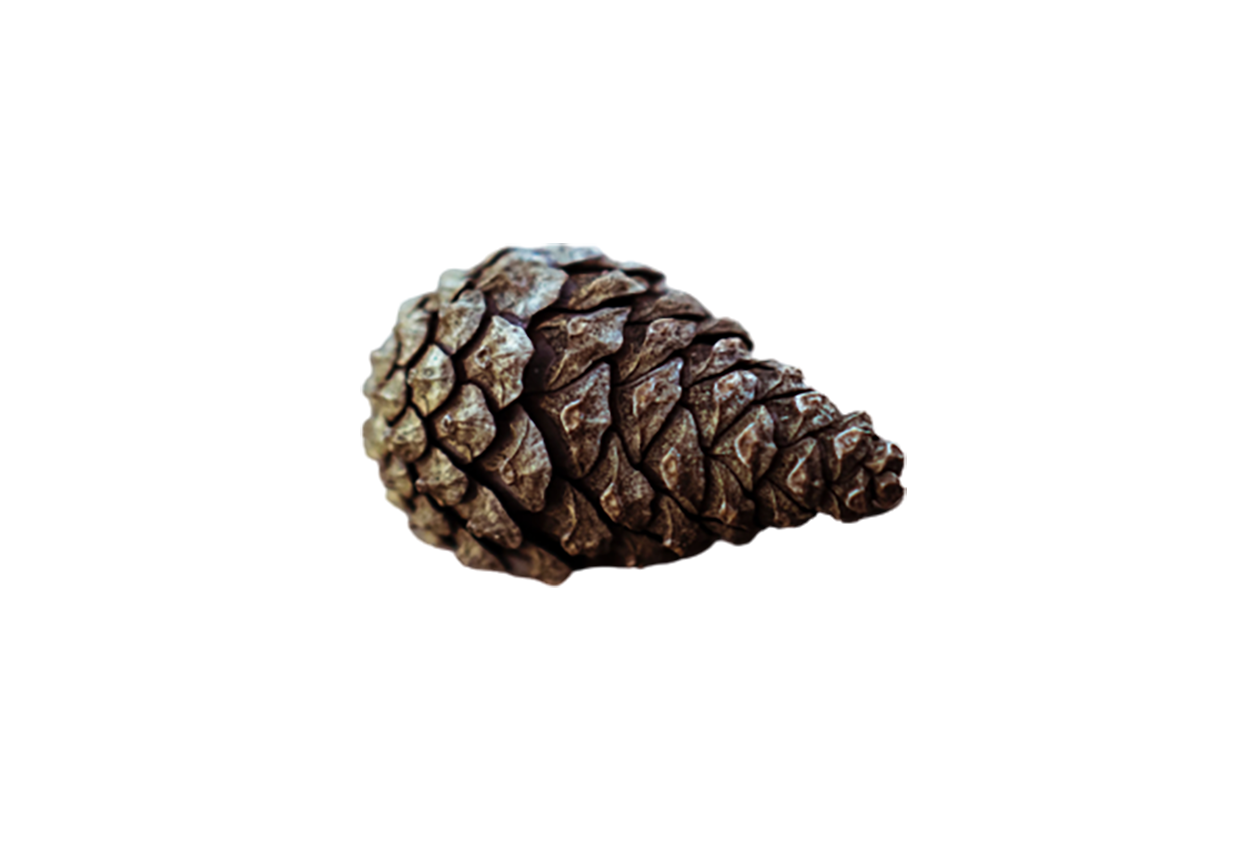 Conifer cone transparent background PNG