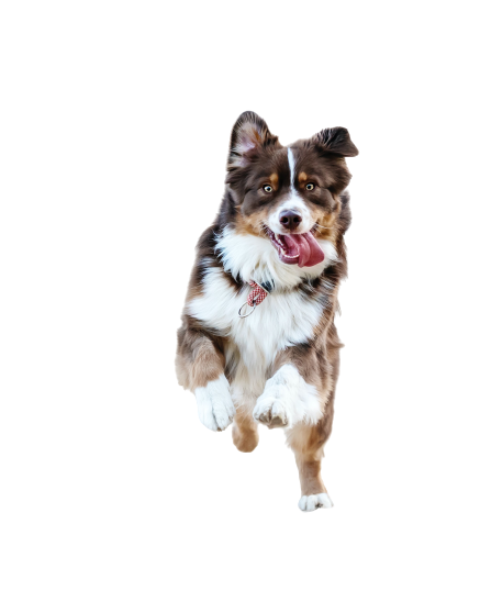 Blackish-brown white dog transparent background PNG