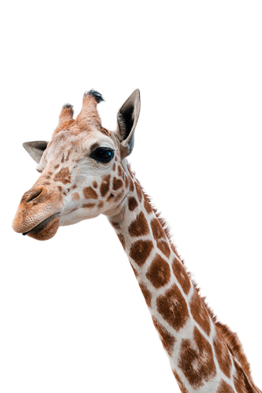 White Brown Giraffe transparent background PNG
