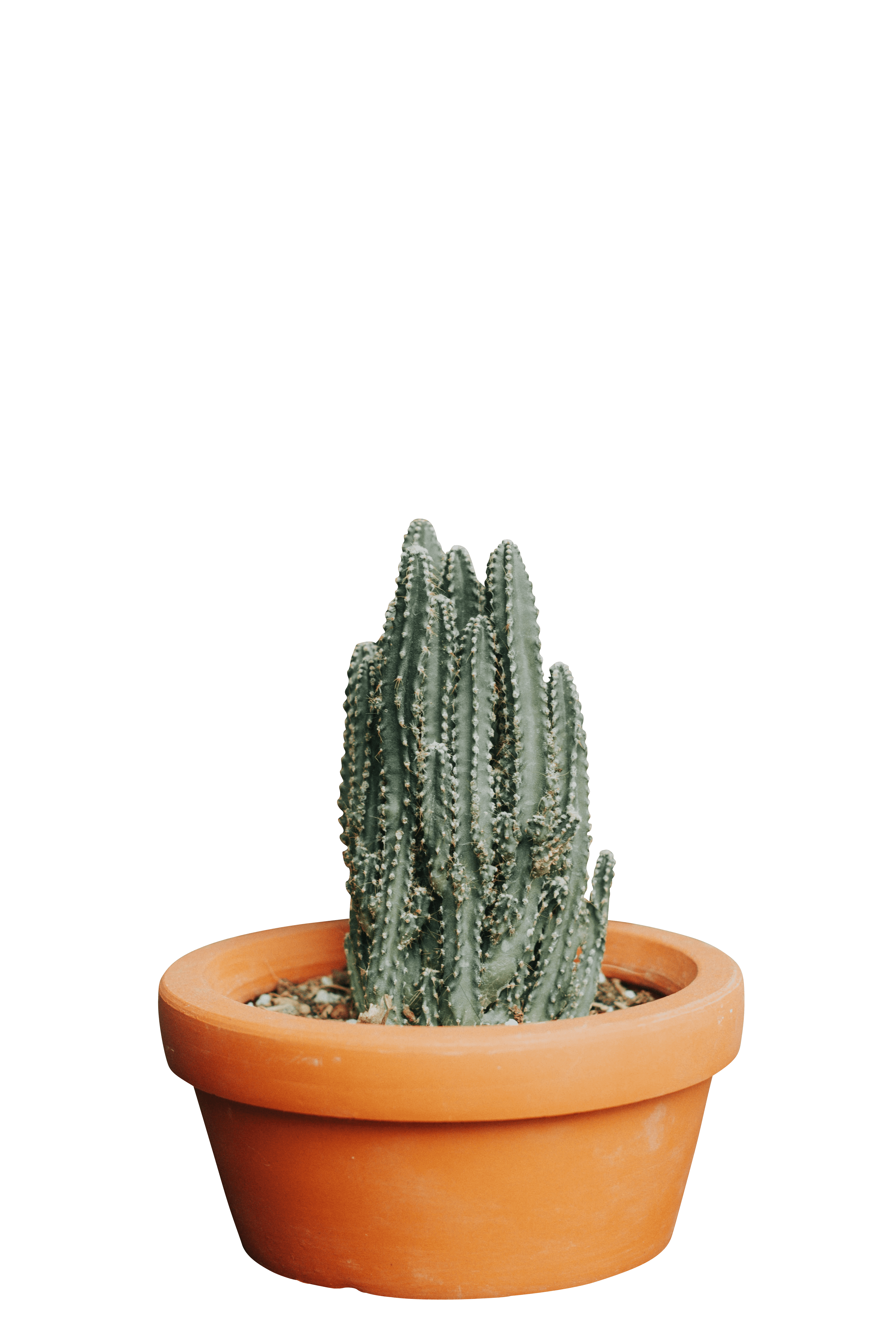Cactus euphorbia ingens plants transparent background.png