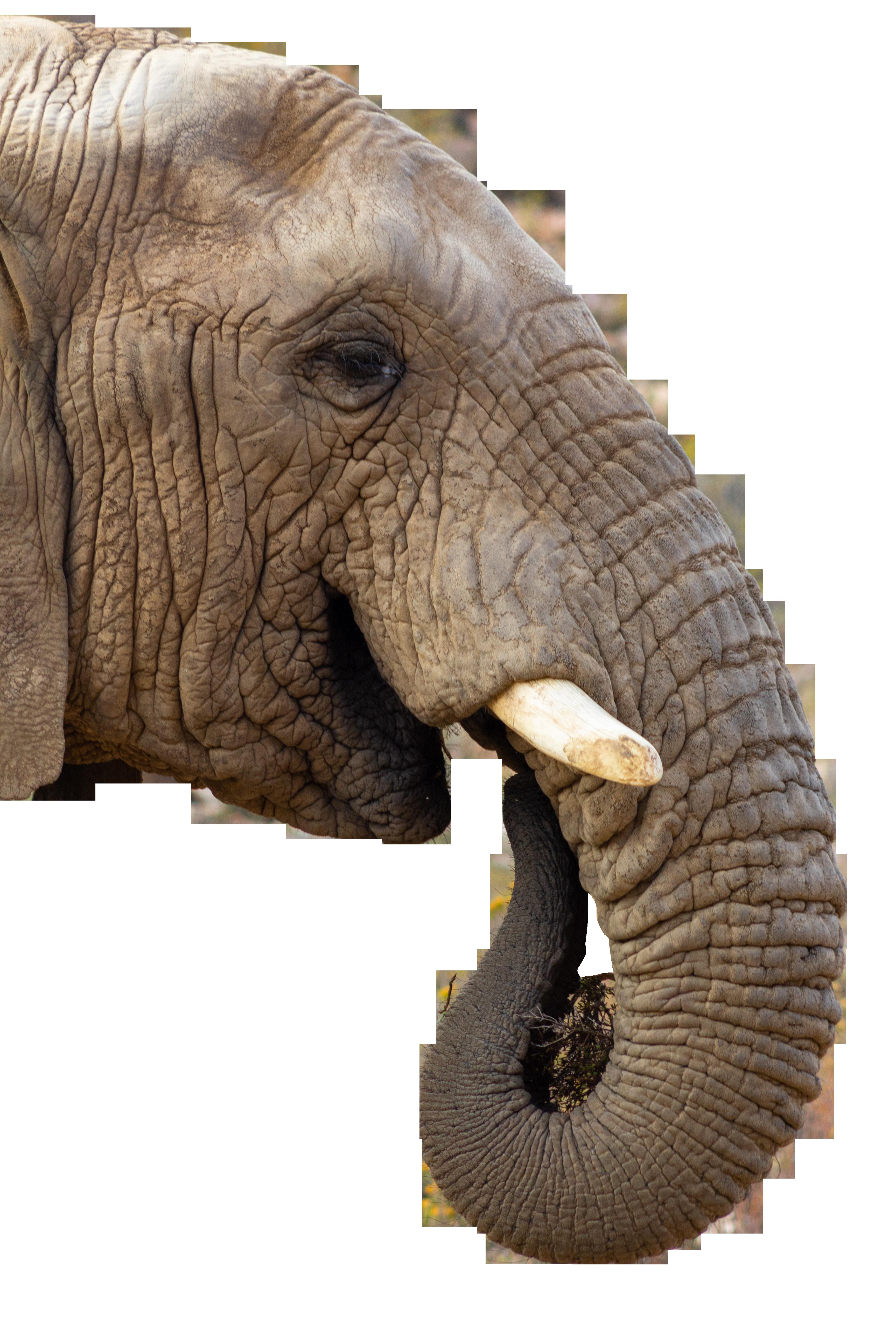 Elephant Eating Transparent Background PNG