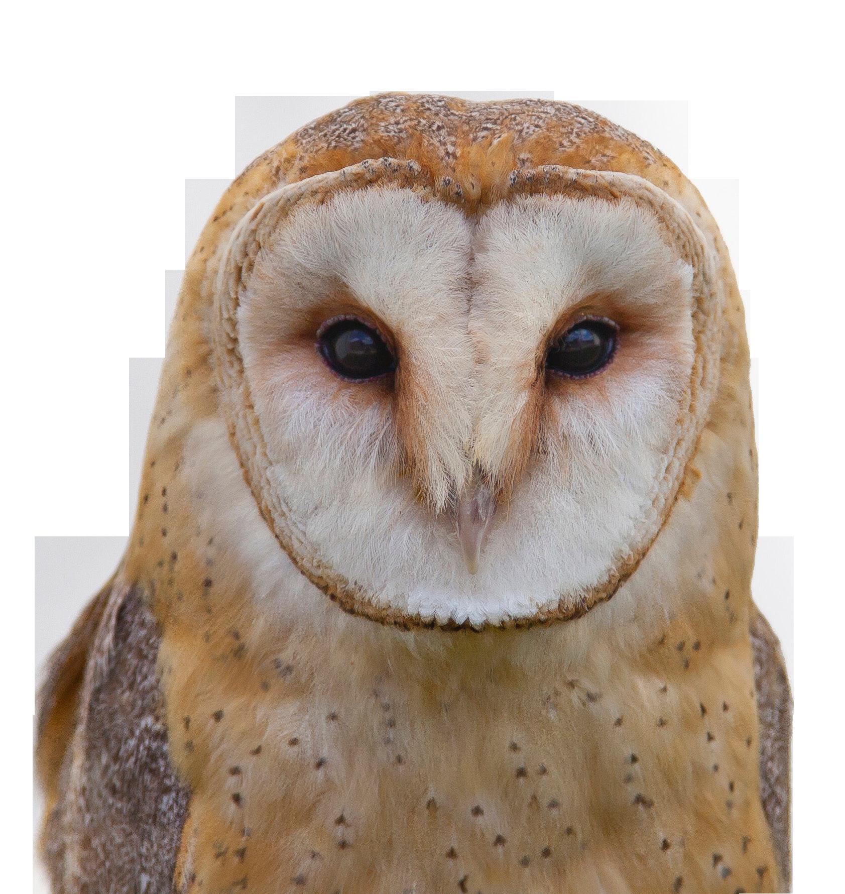 Owl Closeup with Transparent background PNG