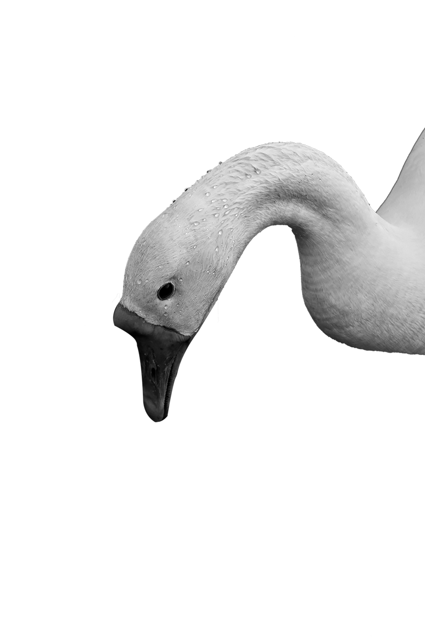 Head of Swan transparent background PNG