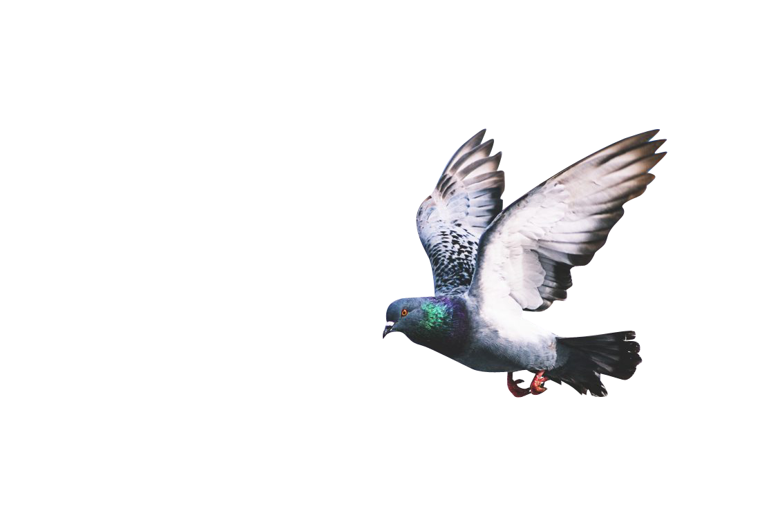 Pigeon Flapping Wings Transparent Background PNG