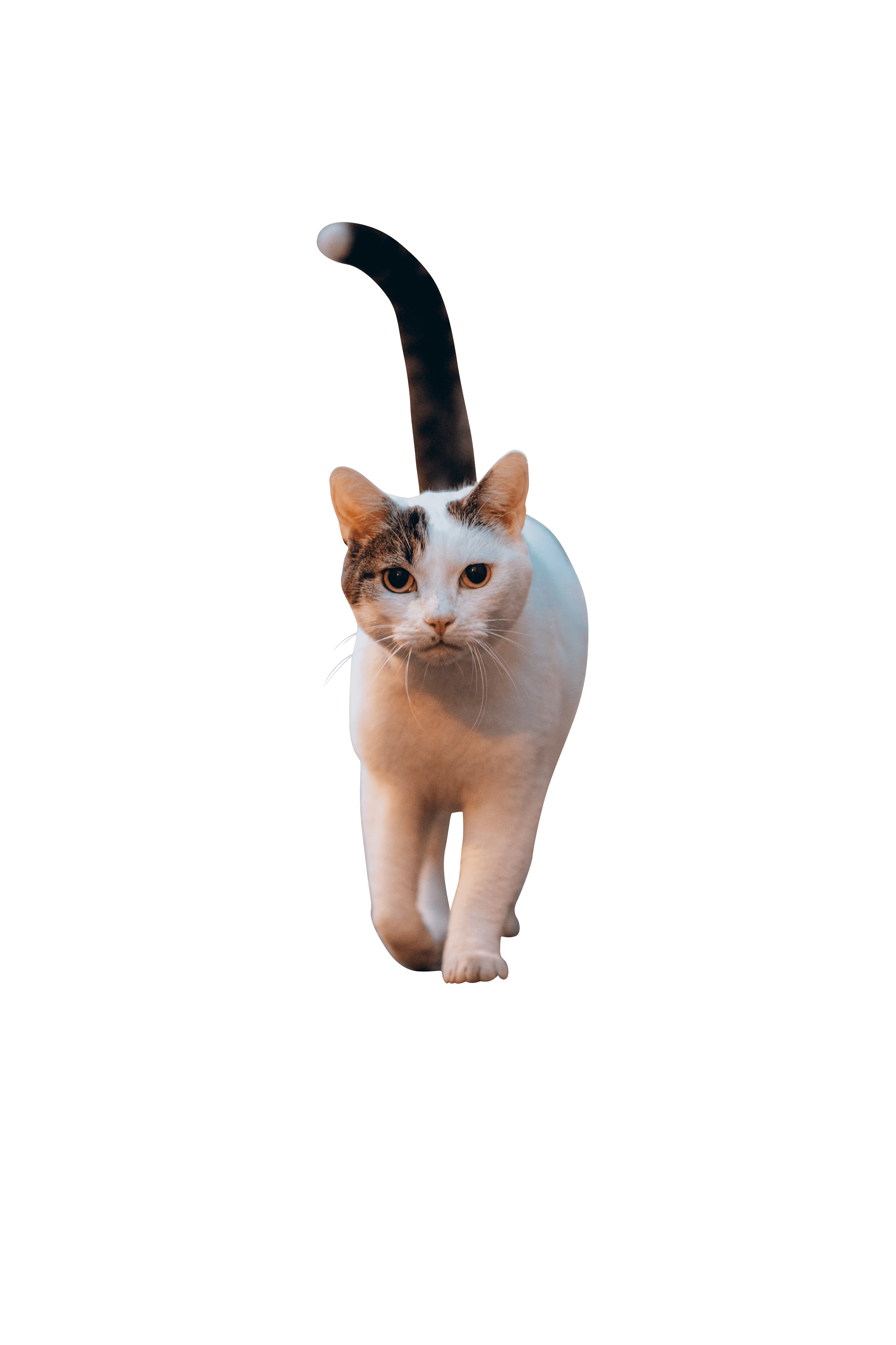 Cat walking front view transparent background.png