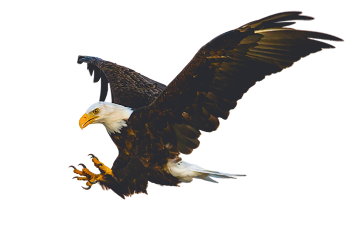 Bald Eagle, catching prey transparent background PNG