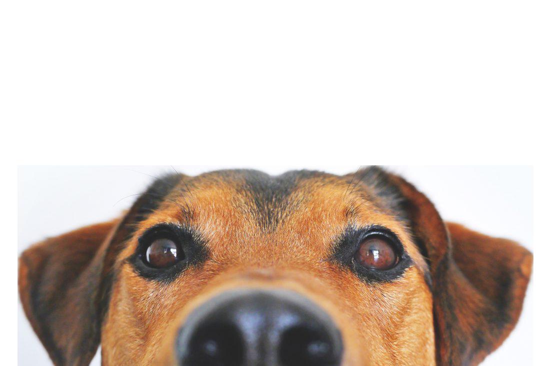 Dog Face Transparent Background PNG