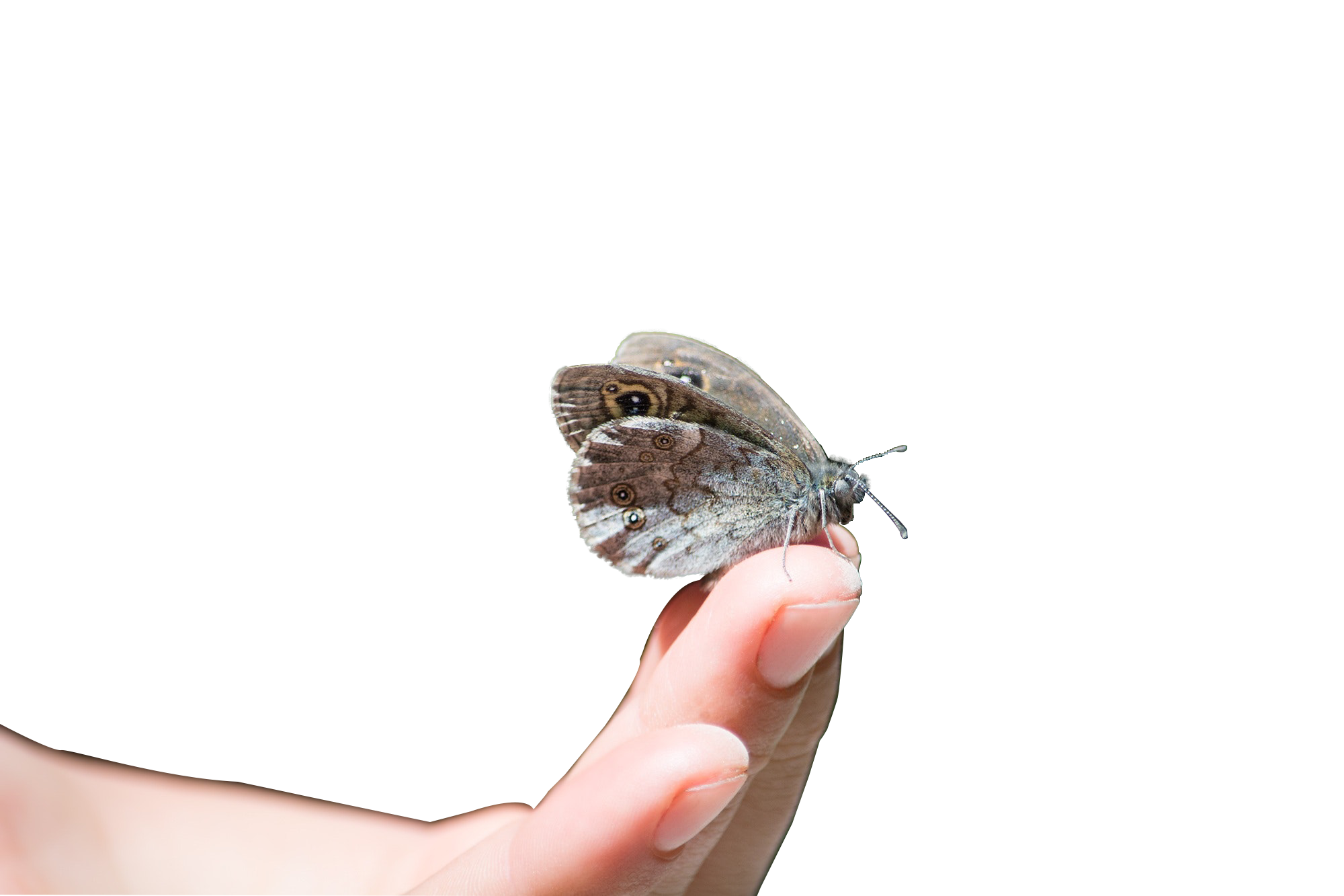 brown color butterfly on fingers with Transparent background PNG